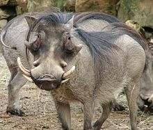 A warthog.