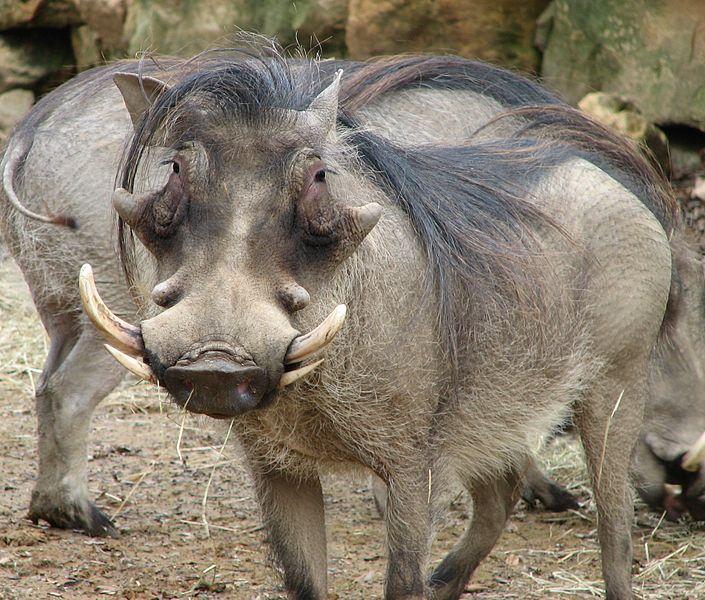 File:Warthog Face 001.jpg