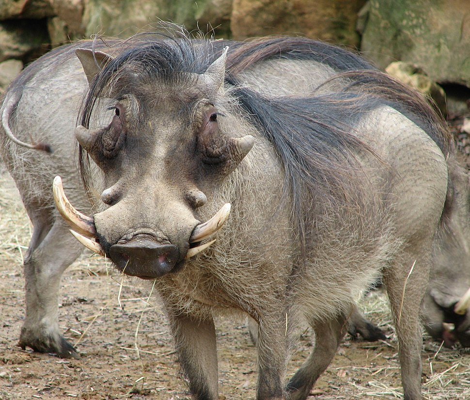 Warthog Face 001