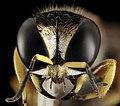 Wasp 3, U, Maryland, face 2015-07-14-11.54.00 ZS PMax.jpg