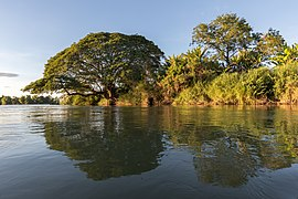 Water reflection of Albizia saman on a Mekong bank at golden hour in Si Phan Don Laos.jpg