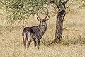 Waterbuck Masai Mara Kenya (20465053071).jpg