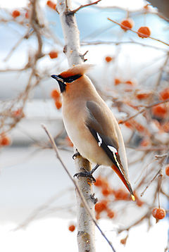 http://upload.wikimedia.org/wikipedia/commons/thumb/c/c7/Waxwing.jpg/240px-Waxwing.jpg