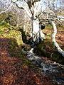 Wee burn, big tree^ - geograph.org.uk - 1599533.jpg