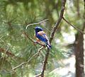 Western Bluebird. Sialia mexicana - Flickr - gailhampshire.jpg