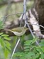 Western Crowned Warbler (Phylloscopus occipitalis) (47956929677).jpg