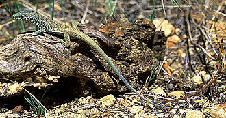 Western whiptail - A. t. multiscutatus