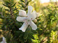 Westringia fruticosa flower.jpg