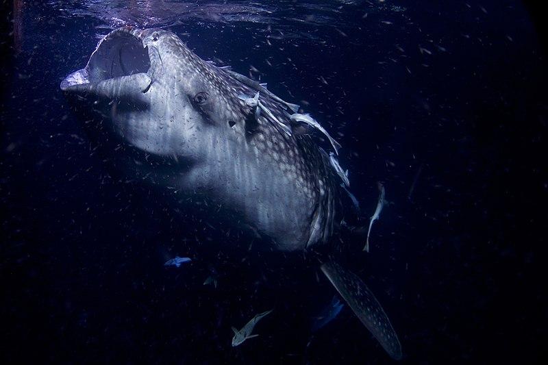 File:Whale Shark AdF.jpg