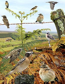 Whinchat from the Crossley ID Guide Britain and Ireland