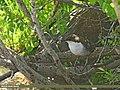 White-throated Dipper (Cinclus cinclus) (28494819731).jpg