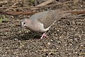 White-tipped Dove National Butterfly Center Mission TX 2018-02-28 15-40-59 (40620769272).jpg