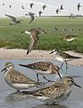 White Rumped Sandpiper From The Crossley ID Guide Eastern Birds.jpg