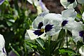 White and purple pansy at Hulda Klager Lilac Gardens.jpg