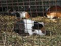 White colour rats.JPG