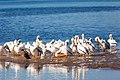 White pelicans (20496266871).jpg