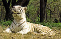 White tiger yawning 1.jpg