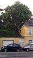 Wien-Döbling-ID-14 Winterlinde.jpg