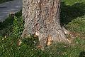 Wien-Penzing - Naturdenkmal 199 - Zu Füßen der Baumhasel (Corylus colurna) beim Europahaus - Fuß.jpg