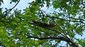 Wiewiórka-Eichhörnchen - panoramio (1).jpg