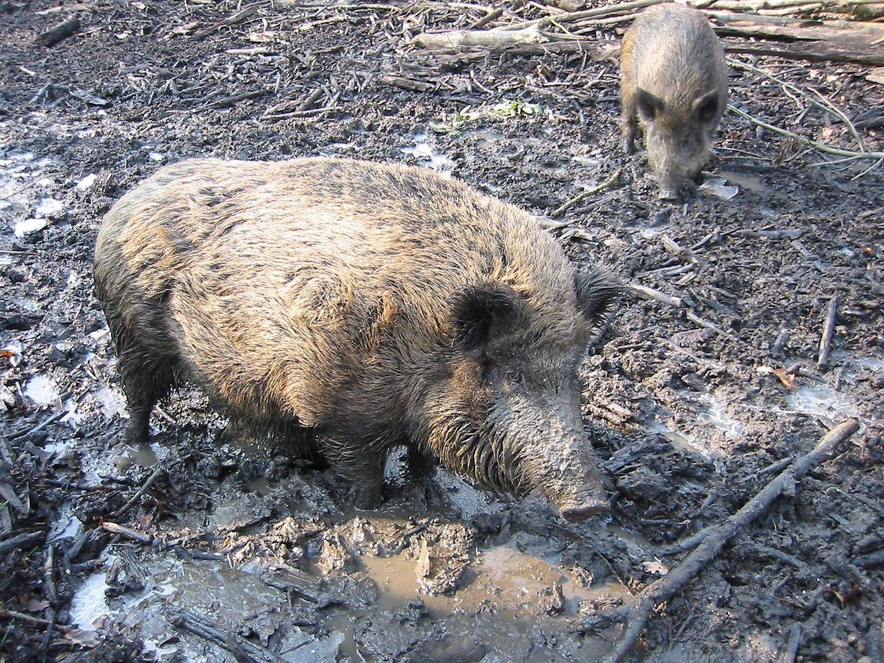 File:WildZwijn.jpg - Wikimedia Commons