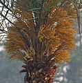 Wild Date Palm (Phoenix sylvestris) female flowers at Narendrapur W IMG 4056.jpg