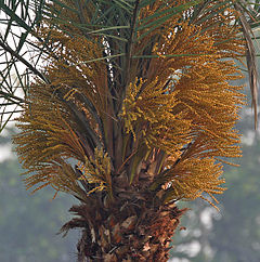 240px-Wild_Date_Palm_%28Phoenix_sylvestris%29_female_flowers_at_Narendrapur_W_IMG_4056.jpg