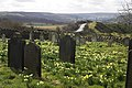 Wild daffodils in the cemetery - geograph.org.uk - 730564.jpg