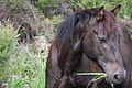 Wild horse Kapowairua, Northland, New-Zealand - Head.jpg