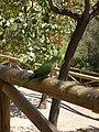 Wild parrot (1071806754).jpg