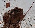 Wilde Maus in Wanne 3.jpg