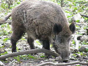 Hîncești District - There are many wild boar in the district