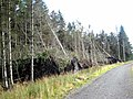 Windblow in Harwood Forest - geograph.org.uk - 541494.jpg