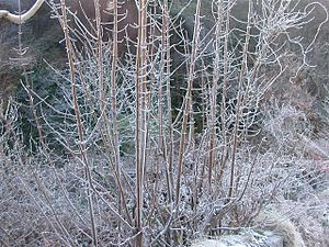 English: Winter frost 2