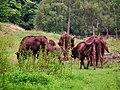 Wisentgruppe Wildpark Klein-Auheim Juni 2012.JPG