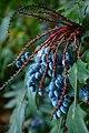 Wojsławice, arboretum, Mahonia japonica, plody.jpg