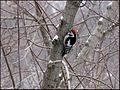 Woodpecker, Средний пестрый дятел. Russia.jpg