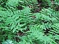 Woodwardia areolata.jpeg