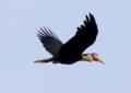 Wrinkled Hornbill 2.tif