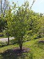 Wzwz tree 11a Cornus mas.jpg