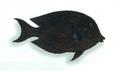 XRF-Acanthurus nigrofuscus.png