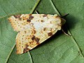 Xanthia icteritia - The Sallow - Золотистая совка малинная (40225936965).jpg
