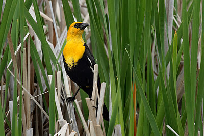 Many kinds of birds nest in marshes; this one is a yellow-headed blackbird. Xanthocephalus xanthocephalus -100 Mile House, British Columbia, Canada -male-8.jpg