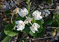 Xanthosia rotundifolia Walpole 2.jpg