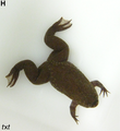 Xenopus tropicalis male.png