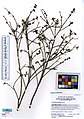 YOSE222850 Vaccinium parvifolium (5521047764).jpg