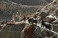 Yaks in Nepal - 7416 (22808433815).jpg