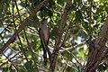 Yellow-billed Cuckoo Santa Gertrudis Lane Tubac AZ 2018-08-06 12-22-22 (42206465780).jpg