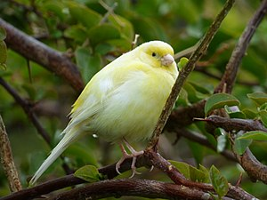 Domestic canary - A yellow canary perched in a tree