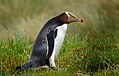 Yellow eyed penguin. (15238441601).jpg